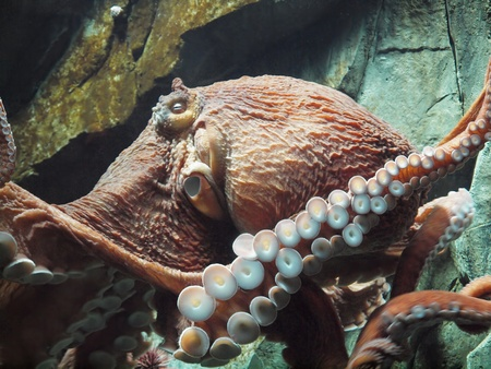 Giant Pacific octopus (Enteroctopus dofleini)