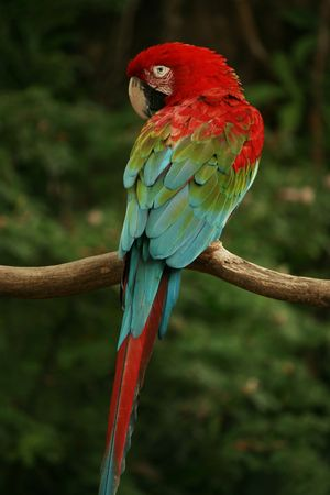 Red Headed Parrot