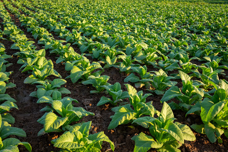 Photo pour Tobacco field, Tobacco big leaf crops growing in tobacco plantation field. - image libre de droit