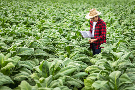 Photo pour Farmer man with laptop standing on field tobacco, Concept of examining the growth of tobacco. - image libre de droit