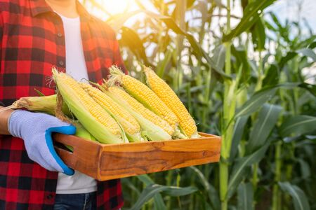 Foto de Farmers hold organic sweet corn, Organic fresh sweet corn harvested in wooden crates in the hands of farmers. The background is a corn field. - Imagen libre de derechos
