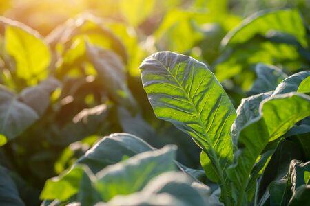 Photo pour [Green leaf tobacco] Green leaf tobacco in a blurred tobacco field background. - image libre de droit
