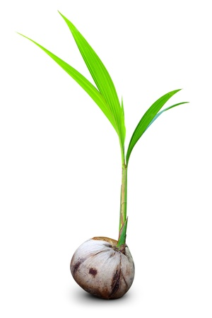 Sprout of coconut tree isolated
