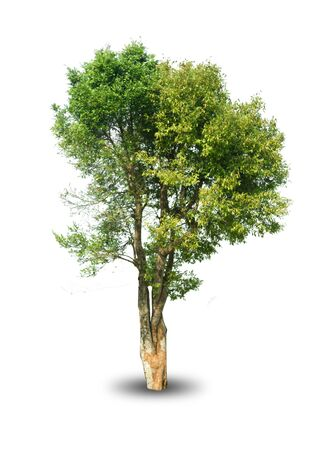 Photo pour isolated tree on white background for decorating the village garden - image libre de droit