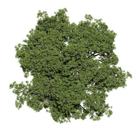 Photo for top view of oak tree - Royalty Free Image