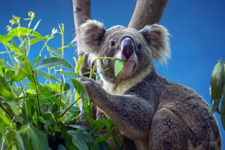 Photo pour Koala eating Eucalyptus leaves. - image libre de droit