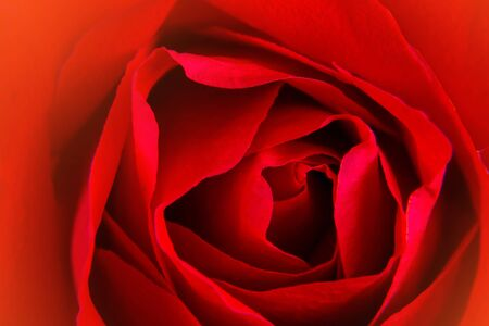 Photo for Beautiful close up red rose background. - Royalty Free Image