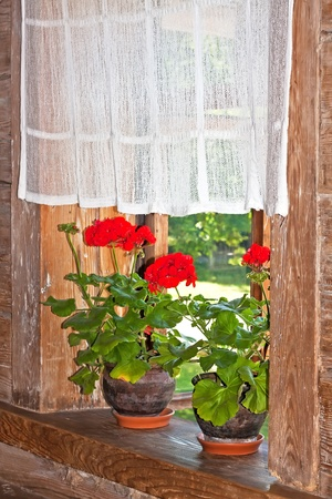 Geranium plant on a wooden window sill in a country house