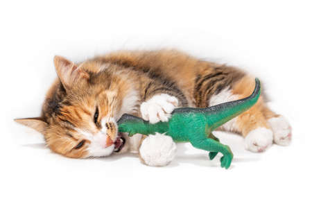 Photo pour Cat vs dinosaur. A orange white long hair fluffy kitty is laying sideways. The playful 1 year old cat has a large green plastic kid toy in the mouth and between the front paws. Isolated on white. - image libre de droit