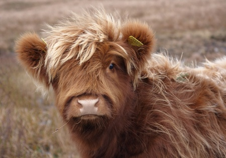 portrait of a red brown long haired Highland cattle in Scotland