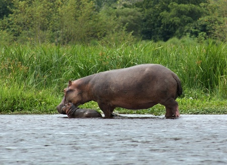 waterside scenery including a Hippo cow and calf in Uganda (Africa)
