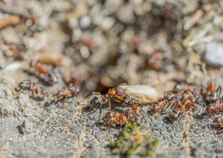 high angle closeup shot showing  lots of ants and a cocoon