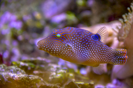 Photo pour colorful dotted pufferfish in natural ambiance - image libre de droit