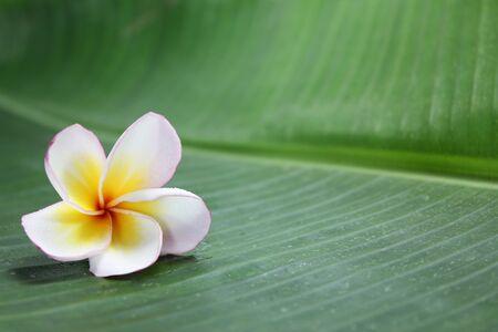 Photo pour Pink desert rose flower on banana leaf background. - image libre de droit