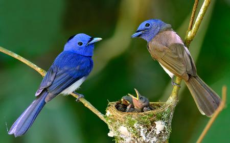 Photo pour Black-naped Blue Flycatcher parents gaurding their chicks in the nest with love, great blue bird family - image libre de droit