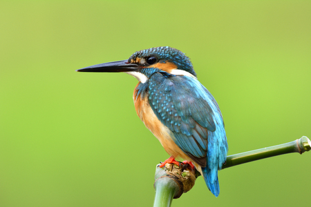 Beautiful blue bird with details of its feathers from head to tail, Common Kingfisher (Alcedo atthis) silence perching on green bamboo stick with very fine shape over blur green background