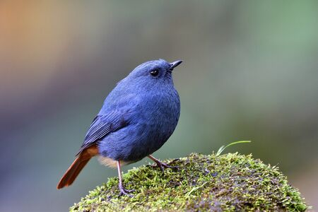 Photo pour Plumbeous Water Redstart (Phoenicurus fuliginosus) funny fat blue and grey bird with red tail standing on white rock in stream beside waterfall of Doi Intanon national park - image libre de droit