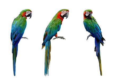 Photo pour Harlequin Macaws,  cross breeding from Blue and Gold and a Green-winged Macaw which makes very affectionate isolated on white background, exotic animal collection - image libre de droit