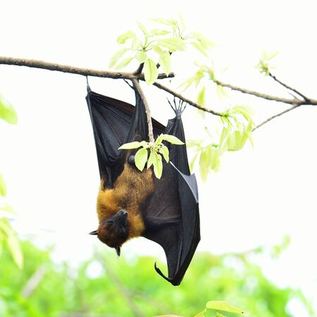 Photo for Sleepy Hanging flying fox on tree branch on white background - Royalty Free Image