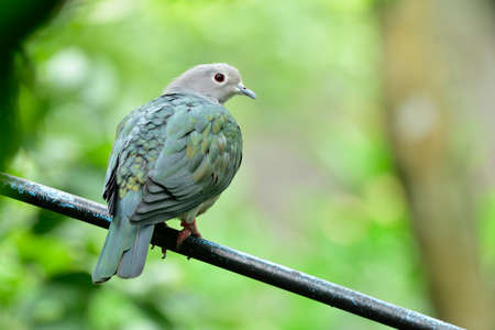 Photo pour Green imperial pigeon perching on black pipe over green environment - image libre de droit