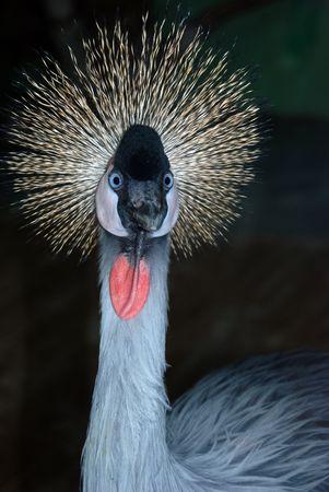 crowned crane (Balearica pavonina)