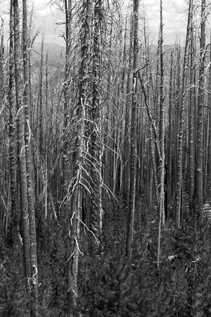 Stand of burned trees from the devastating 1988 Yellowstone fire.