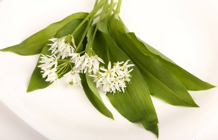 Leaves and flowers of wild bear garlic on a white background.