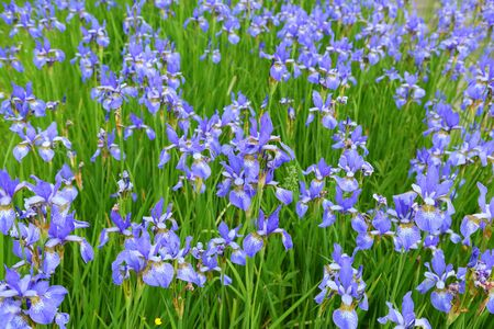 Photo for Beautiful blue flowers of Siberian iris. Iris sibirica blooming in the meadow. - Royalty Free Image