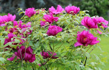 Photo pour A beautiful bush of blooming pink peony. - image libre de droit