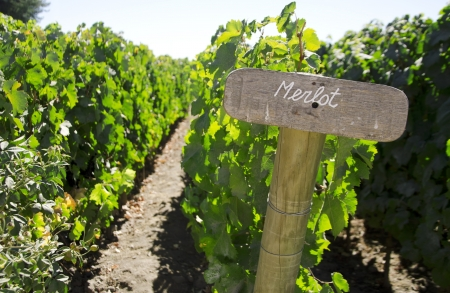 Wood sign of Merlot in a vineyard, Colchagua valley, Chile