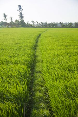 Long green rice grass in paddy fields in Bali, Indonesia