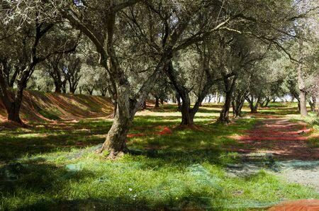 uliveto in Calabria preparato con le reti per la raccolta delle olive