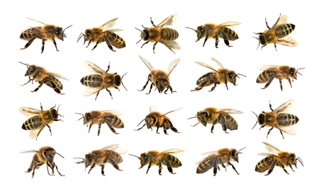 Photo pour group of bee or honeybee in Latin Apis Mellifera, european or western honey bee isolated on the white background, golden honeybees - image libre de droit