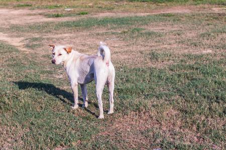 thai white stray dog in lawn