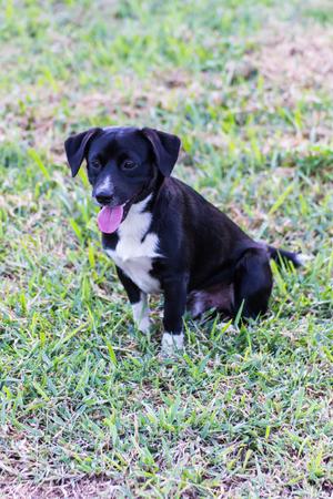 thai black stray dog in lawn