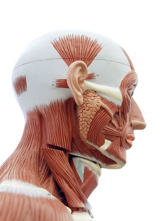 Human anatomy - structure of head muscles and tendons