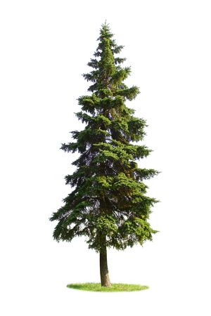 Giant spruce tree isolated on white background