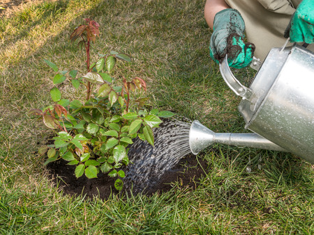 Photo pour Female gardener watering rose shrub after planting it in in her backyard garden - image libre de droit