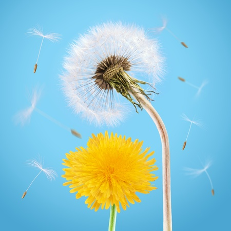 Yellow and overblown dandelion on the blue sky