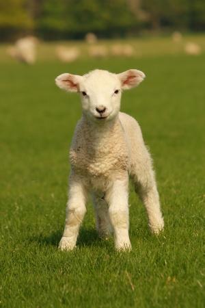 curious little lamb 2