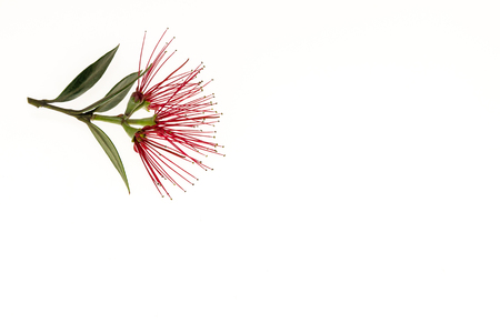 Photo pour cluster of New Zealand Christmas tree flowers isolated on white background - image libre de droit