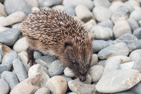 Closeup of baby hedgehog searching for food on pebblesの写真素材