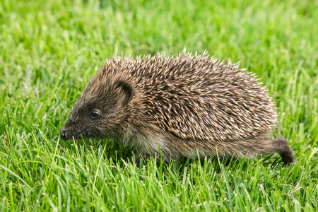 Baby hedgehog foraging for food on grassの写真素材