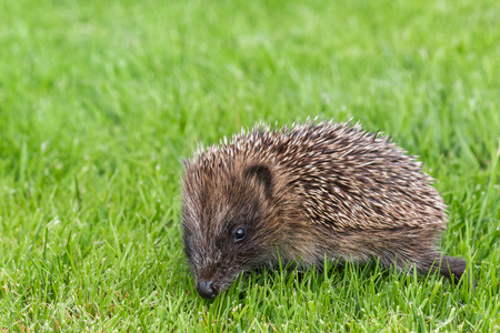 baby hedgehog searching for food on grass lawnの写真素材