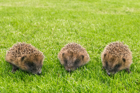closeup of three baby hedgehogs searching for food on grassの写真素材