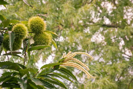 Photo for sweet chestnuts and flowers in husks growing on chestnut tree - Royalty Free Image
