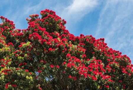 Photo pour New Zealand Christmas tree with red pohutukawa flowers in bloom with blue sky and copy space - image libre de droit