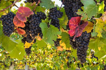 Foto für bunches of ripe Pinot Noir grapes on vine in vineyard at harvest time with blurred background and copy space - Lizenzfreies Bild