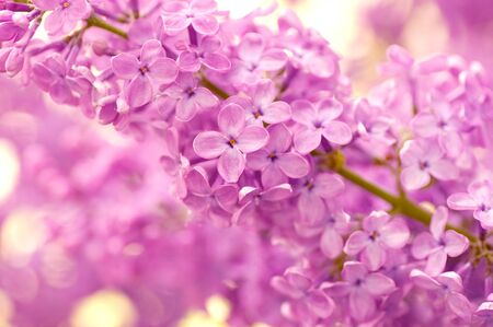 Beautiful flowers lilac in g