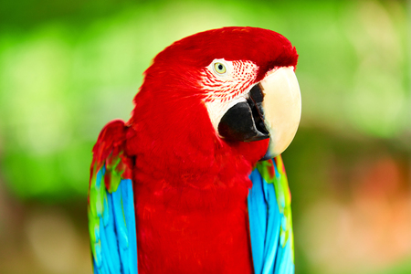 Photo for Birds, Animals. Closeup Portrait Of Bright Colorful Green-winged Red Scarlet Macaw Parrot Sitting On Branch. Travel To Thailand, Asia. Tourism. - Royalty Free Image